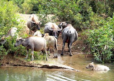 des buffles qui se baignent dans les eaux du Mékong
