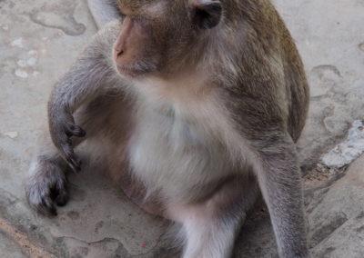 un singe dans le temple Angkor Wat
