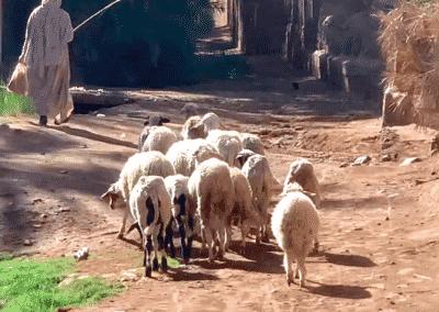 troupeau de moutons dans la palmeraie d'Amzrou