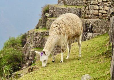 Lama du Machu Picchu