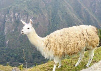 Le lama du Machu Picchu