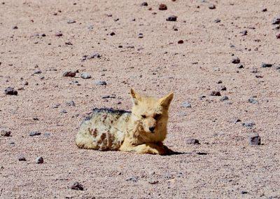 un renard dans le Sud Lipez