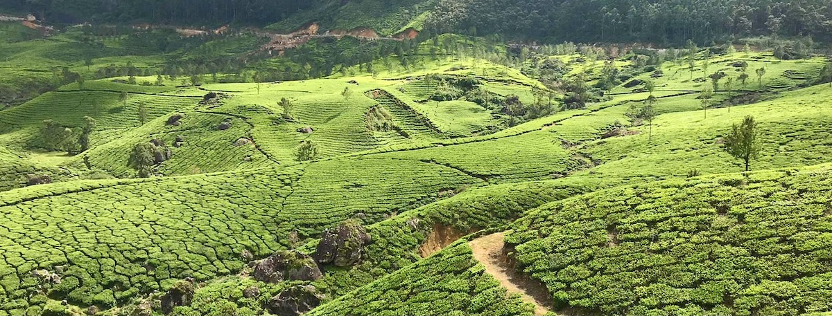 plantation de thé au Kérala en Inde du Sud