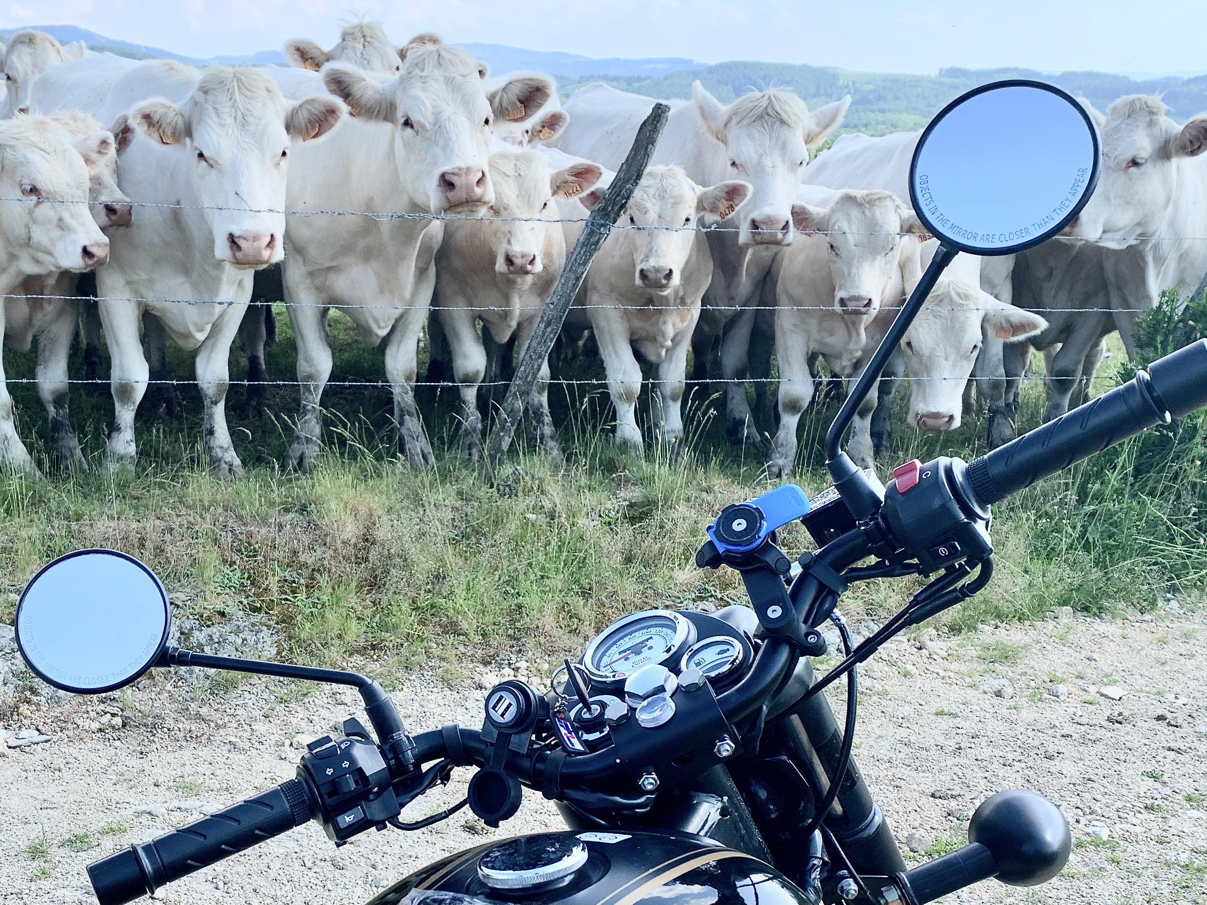 les vaches du Livradois